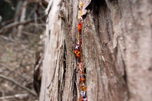 杉の樹液.jpg